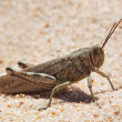 Stock Photo: Large grasshopper, locusts basking on beach.