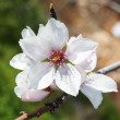 Almond blossom spring — Stock Photo