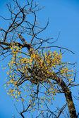 Mistletoe on the tree — Stock Photo