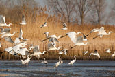 Great Egrets and gulls — Stock Photo