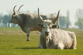 Ungersk grå boskap — Stockfoto
