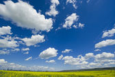 Colza and Clouds — Stock Photo