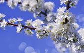 árvore de florescência — Foto Stock