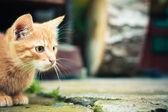 Rode kitten — Stockfoto