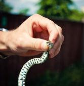 Holding a Grass Snake — Stock Photo