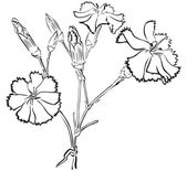 Carnation — Stock Vector