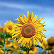 Sunflower in field — Stock Photo #8070150