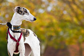Greyhound in the field — Stock Photo