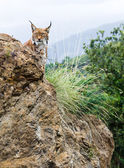 Eurasian lynx in the mountain — Stock Photo
