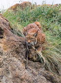 Lynx stalking — Stock Photo