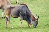 Eland, taurotragus oryx — Stock Photo