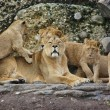 Lions Family - Stock Photo