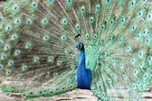 Blue Peafowl — Stock Photo