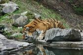 Tiger Drinking Water — Stock Photo