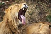 Lion With Open Mouth — Stock Photo