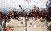 Bug-soldier. Spring accumulation of beetles. — Stock Photo
