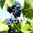 Clusters of grapes against the sky — Stock Photo