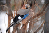 Birdie of Sojka — Stock Photo