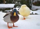 Two ducks in the snow — Fotografia Stock