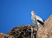Stork in its nest under blue sky — Stock Photo