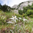 Edelweiss — Stock Photo