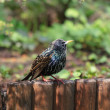 Stock Photo: Starling bird (sturnus vulgaris)