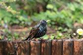 Starling bird (sturnus vulgaris) — Stock Photo