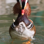 Mandarin Duck Drake (Aix Galericulata) — Stock Photo