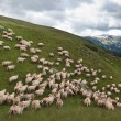 Flock of sheep — Foto Stock
