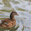 Stock Photo: Mandarin duck (female) (aix galericulata)