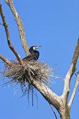 Skarv (phalacrocorax carbo) på boet — Stockfoto