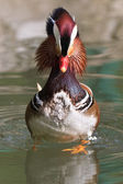 Mandarin Duck Drake (Aix Galericulata) — Stock Photo
