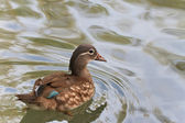 Mandarin duck (female) (aix galericulata) — Stock Photo