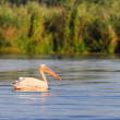 White pelicans (pelecanus onocrotalus) - Stock Photo