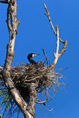 Cormorant (phalacrocorax carbo ) on nest — Stock Photo