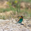 Europebee eater — Stock Photo #10535660