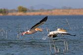 Pelicans in flight — Stock Photo