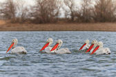 Dalmatian Pelicans (Pelecanus crispus) — Foto Stock