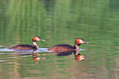 Great crested grebe — Stock Photo