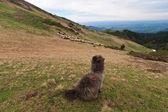 Schafe hüten — Stockfoto