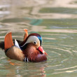 Mandarin Duck Drake — Stock Photo #10694045