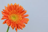 Orange gerbera daisy — Stockfoto