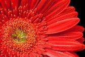 Gérbera vermelha — Foto Stock