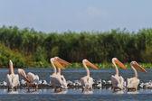 White pelicans — Stock Photo