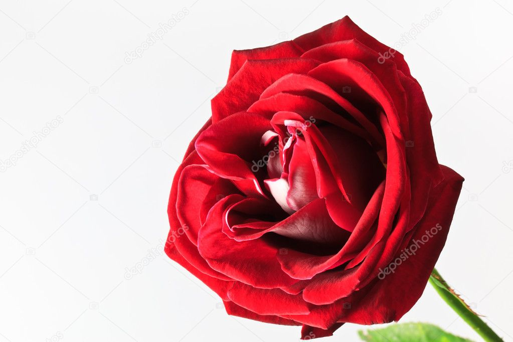 Beautiful red rose isolated on white background  Stock Photo #8042419