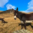 Stock Photo: Donkeys grazing