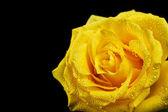 Yellow rose closeup — Stock Photo