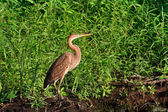 Red heron (ardea purpurea) — Stock Photo