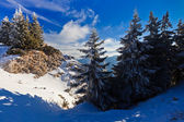 Forest with pines in winter — Stock Photo