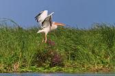 Pellicano bianco in volo — Foto Stock